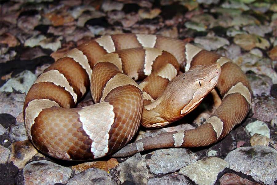 Snake Identification - Learn all About Various Snake Bites, Venomous Snakes & More for Urgent Situations 6