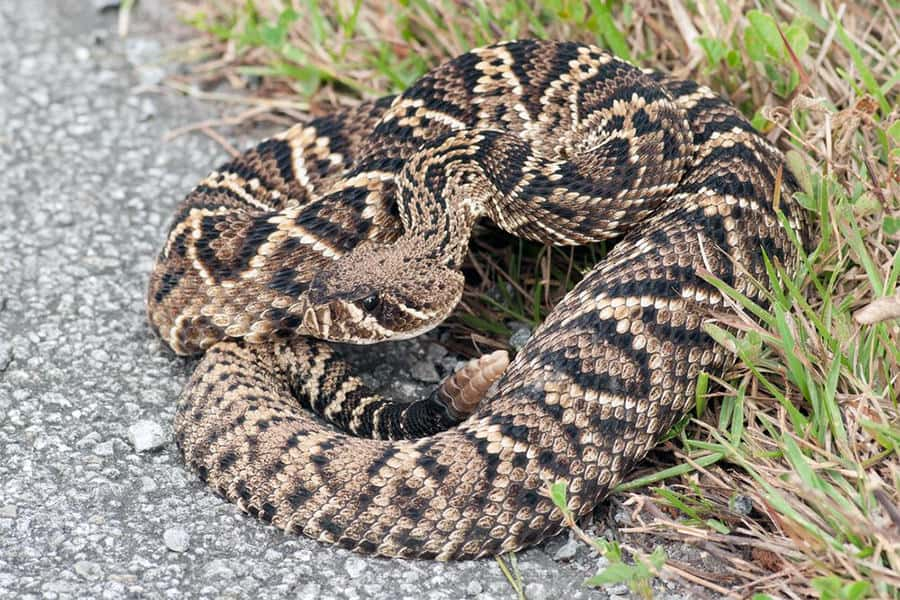 Snake Identification - Learn all About Various Snake Bites, Venomous Snakes & More for Urgent Situations 3