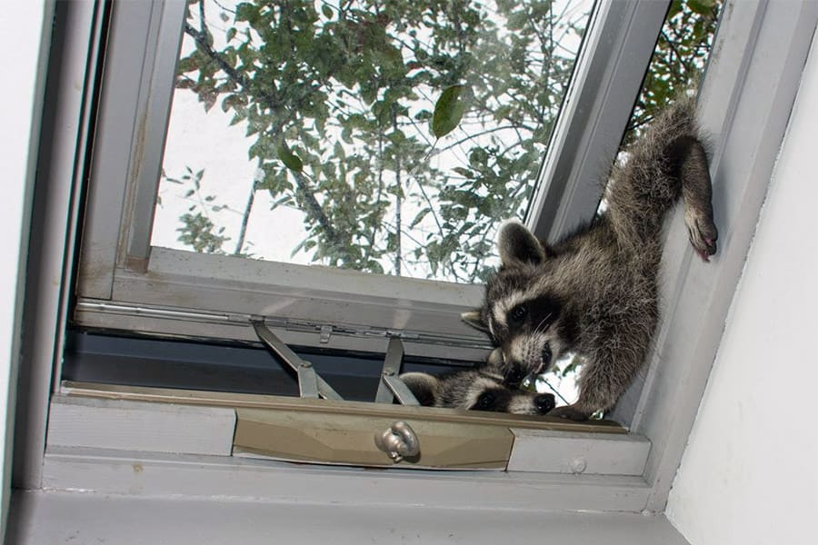 How to Get Rid of Raccoons - Best Ways to Eliminate Raccoons in Your Yard & Attic 1