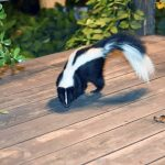 Discover How to Get Rid of Skunks in Your Yard - Ammonia & Other Tricks 2