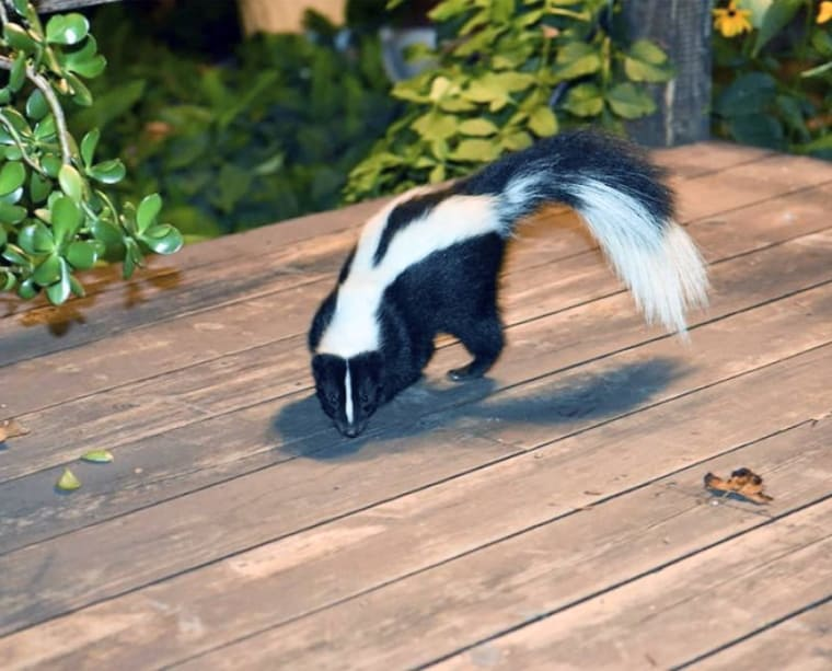 Discover How to Get Rid of Skunks in Your Yard - Ammonia & Other Tricks 9