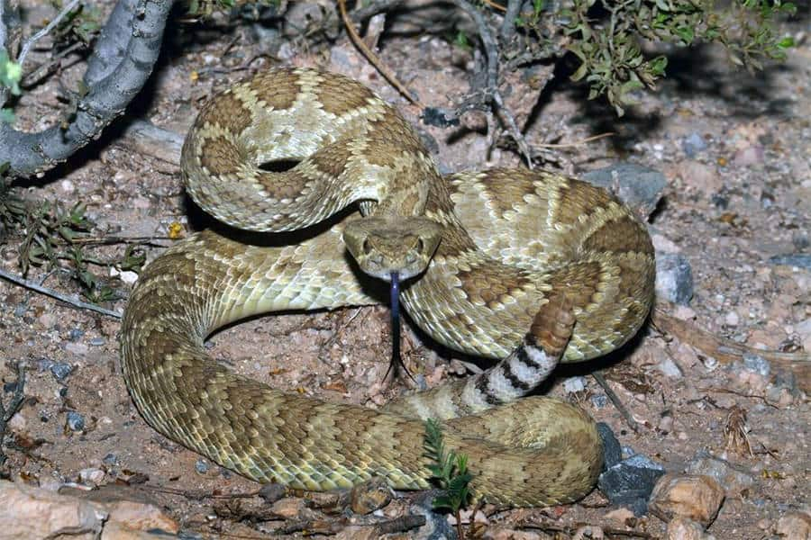 Snake Identification - Learn all About Various Snake Bites, Venomous Snakes & More for Urgent Situations 9