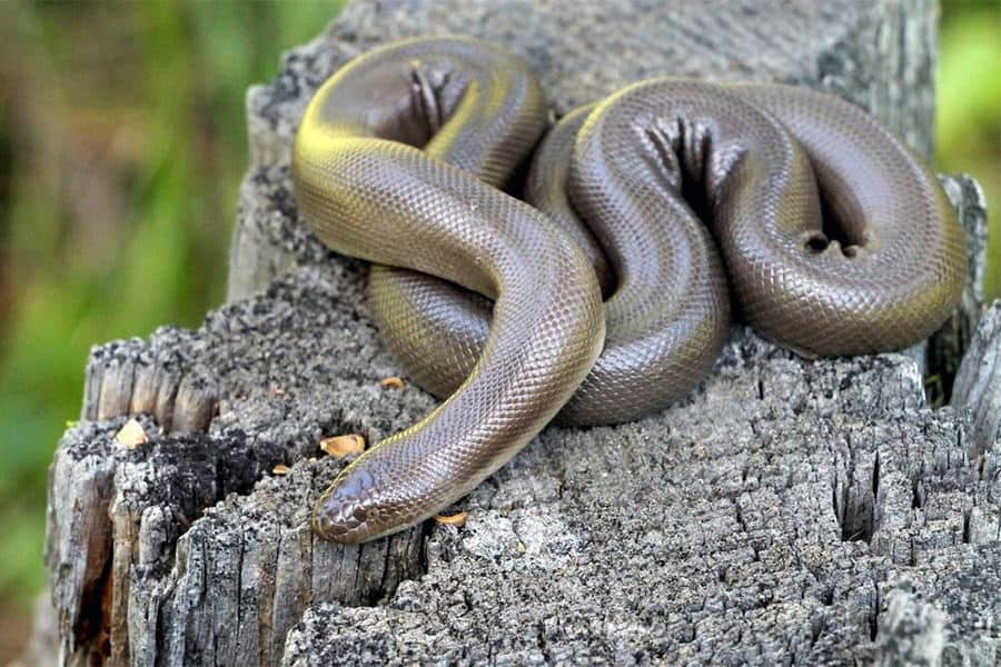 Snake Identification - Learn all About Various Snake Bites, Venomous Snakes & More for Urgent Situations 12