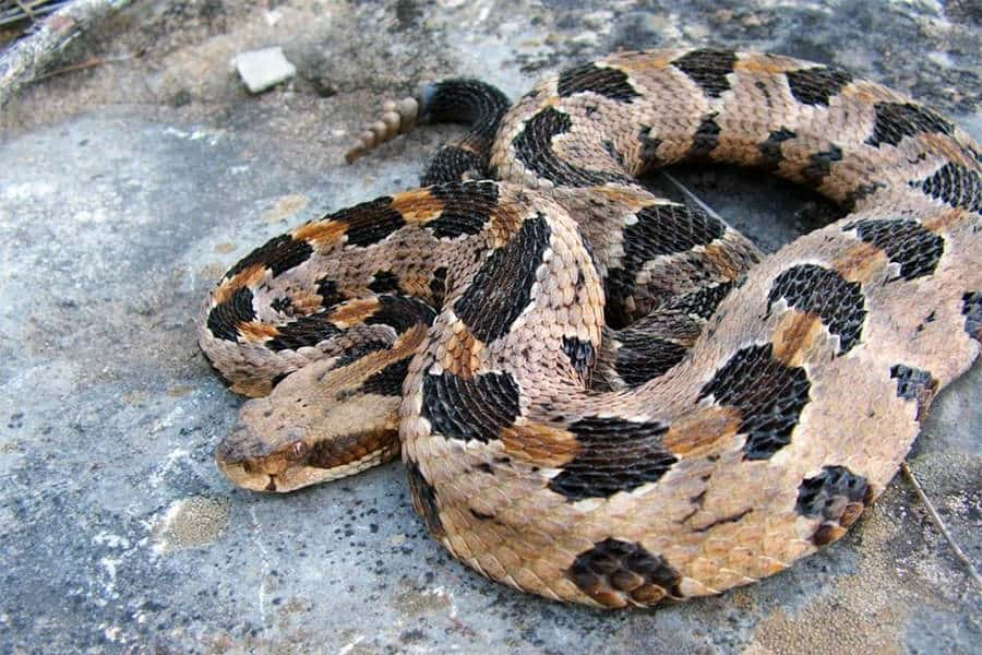 Snake Identification - Learn all About Various Snake Bites, Venomous Snakes & More for Urgent Situations 8