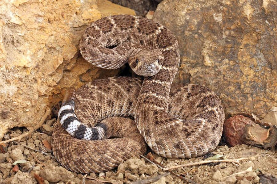 Snake Identification - Learn all About Various Snake Bites, Venomous Snakes & More for Urgent Situations 4